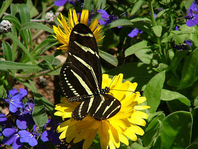 Zebra Longwing On Yellow With Purple Flowers - 103 Poster