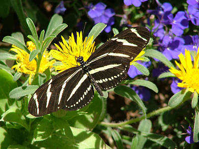 Zebra Longwing On Yellow With Purple Flowers - 104 Poster