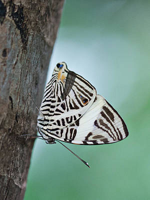 Poster featuring the photograph Zebra Mosiac Butterfly by Zoe Ferrie