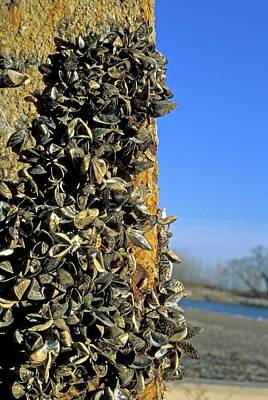 Zebra Mussels Poster