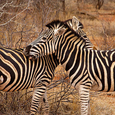 Poster featuring the photograph Zebra Pair by Phil Stone