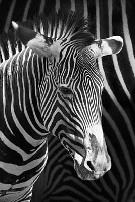 Zebra Photograph With Zebra Patterned Background Poster