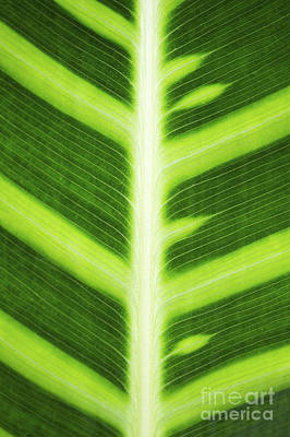 Zebra Plant Leaf Pattern Poster by Tim Gainey
