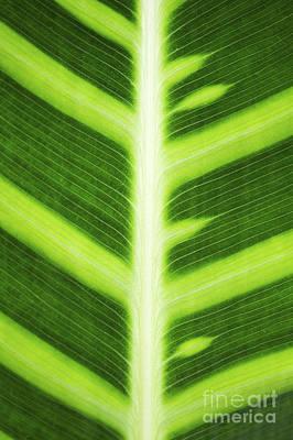Zebra Plant Leaf Pattern Poster