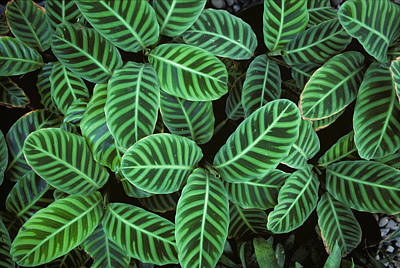 Zebra Plant Leaves Manila Philippines Poster by Nigel Cattlin