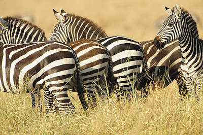 Zebra Stripes Poster by Phyllis Peterson
