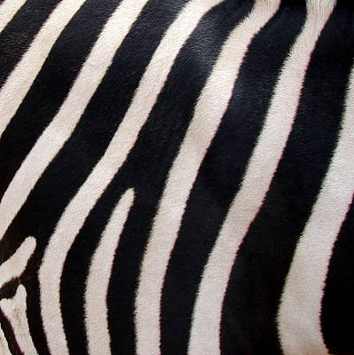 Poster featuring the photograph Zebra Stripes by Ramona Johnston