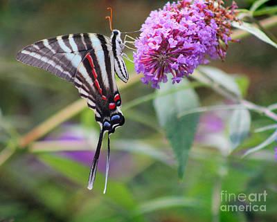 Zebra Swallowtail Butterfly On Butterfly Bush  Poster