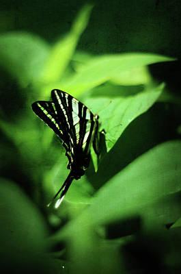 Zebra Swallowtail Butterfly Poster by Rebecca Sherman