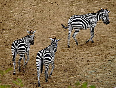 Poster featuring the photograph Zebra Tails by AJ  Schibig