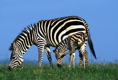 Zebra With Foal Poster