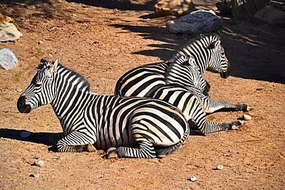 Zebra1 Poster