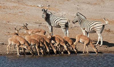 Zebras (equus Quagga Poster by Jaynes Gallery