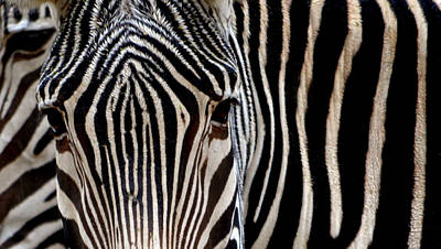 Poster featuring the photograph Zebras Face To Face by Nadalyn Larsen