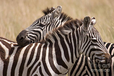 Poster featuring the photograph Zebras Friendship by Chris Scroggins