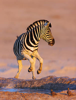 Zebras Jump From Waterhole Poster