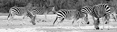 Zebras Poster by Rebecca Cozart