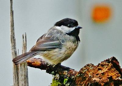 Poster featuring the photograph Zen Chickadee by VLee Watson