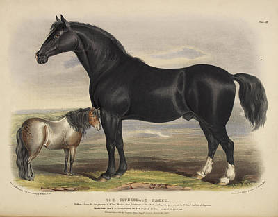 Zetland Breed Poster by British Library