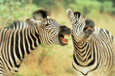 Zimbabwe Two Zebras In A Dispute Credit Poster by Jaynes Gallery
