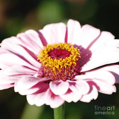 Zinnia Pink Flower Floral Decor Macro Sqaure Format Diffuse Glow Digital Art Poster