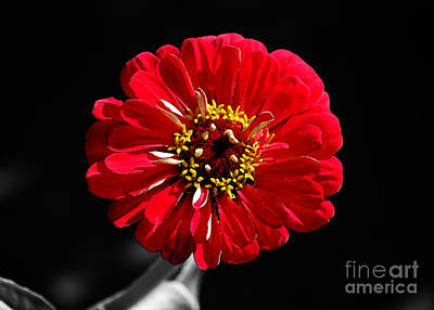 Zinnia Red Flower Floral Decor Macro Watercolor Color Splash Black And White Digital Art Poster by Shawn O'Brien