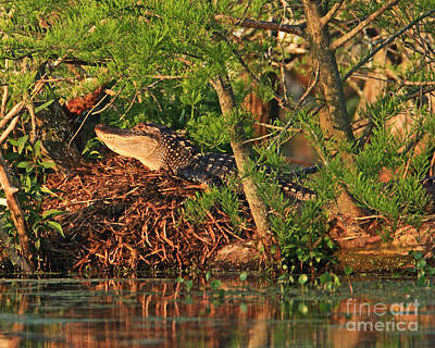 Poster featuring the photograph  Alligator On Nest by Luana K Perez