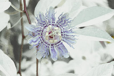 Passion Flower On White Poster by Tom Wurl