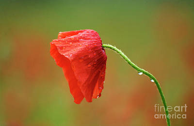 Solitary Poppy. Poster by Bernard Jaubert