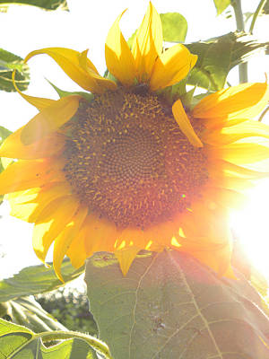 Poster featuring the photograph  Sun Flower by Nada Meeks