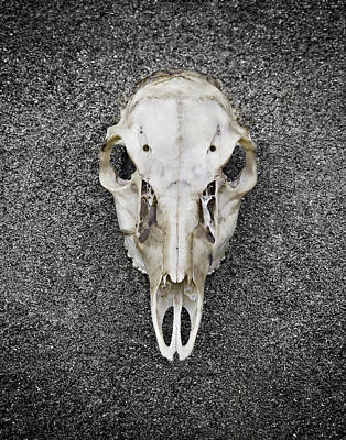 0710-0099 Deer Skull On The Buffalo River Poster by Randy Forrester