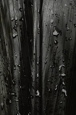A Black Ti Leaf Camellia Sinensis Poster