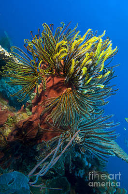 A Colony Of Feather Stars Attached Poster