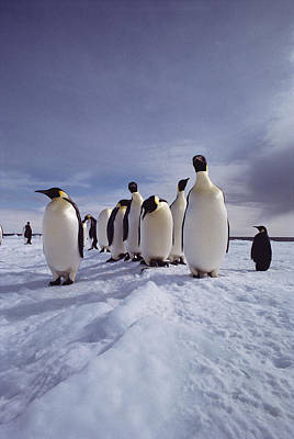 A Group Of Emperor Penguins Poster by Bill Curtsinger