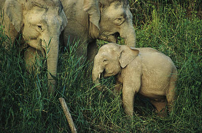 A Juvenile Asian Elephant With Two Poster by Tim Laman