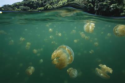 A Swarm Of Mastigias Species Jellyfish Poster by Tim Laman