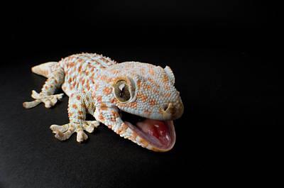 A Tokay Gecko Gekko Gecko At The Sunset Poster by Joel Sartore