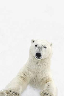A Very Curious Polar Bear Ursus Poster