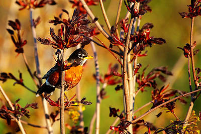 American Robin Poster by Paul Ge