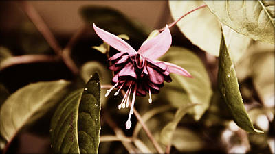 Poster featuring the photograph Antiqued Fuchsia by Jeanette C Landstrom