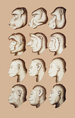 Artwork Of Twelve Catarrhines, 1870 Poster