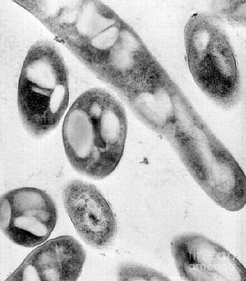 Bacillus Anthracis, Tem Poster by Science Source