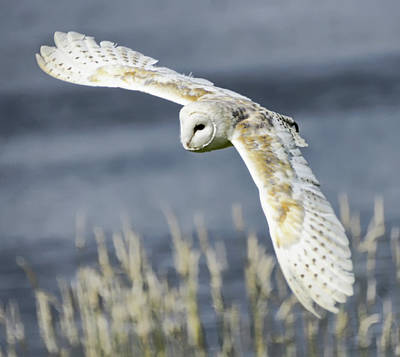 Barn Owl Poster by Sam Smith Photography