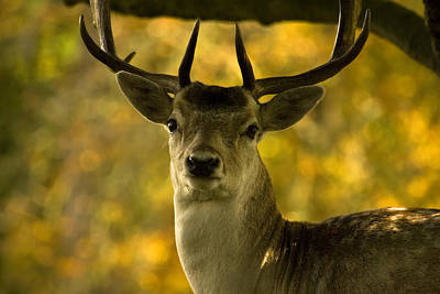 Poster featuring the photograph Beautiful My Deer by John Chivers