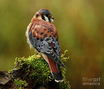 Beauty Of Autumn American Kestrel  Poster by Inspired Nature Photography Fine Art Photography