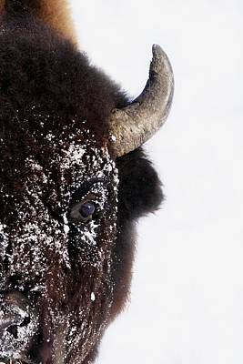 Bison In Winter Poster by Richard Wear