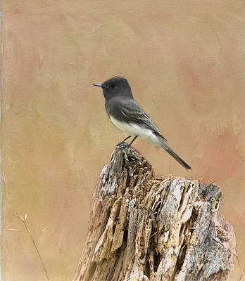 Black Phoebe Poster by Betty LaRue