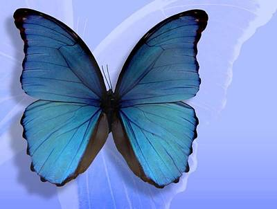 Blue Butterfly Poster by Michael Owens