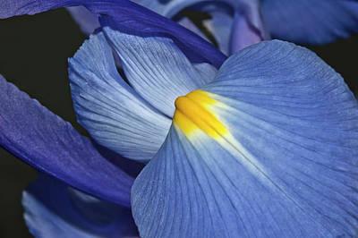 Blue Iris Poster by Carolyn Marshall