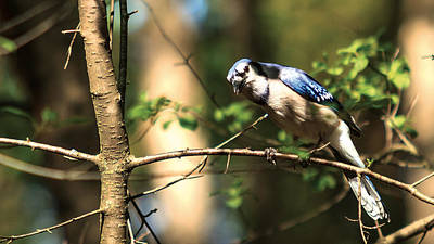 Poster featuring the photograph Blue Jay by Josef Pittner